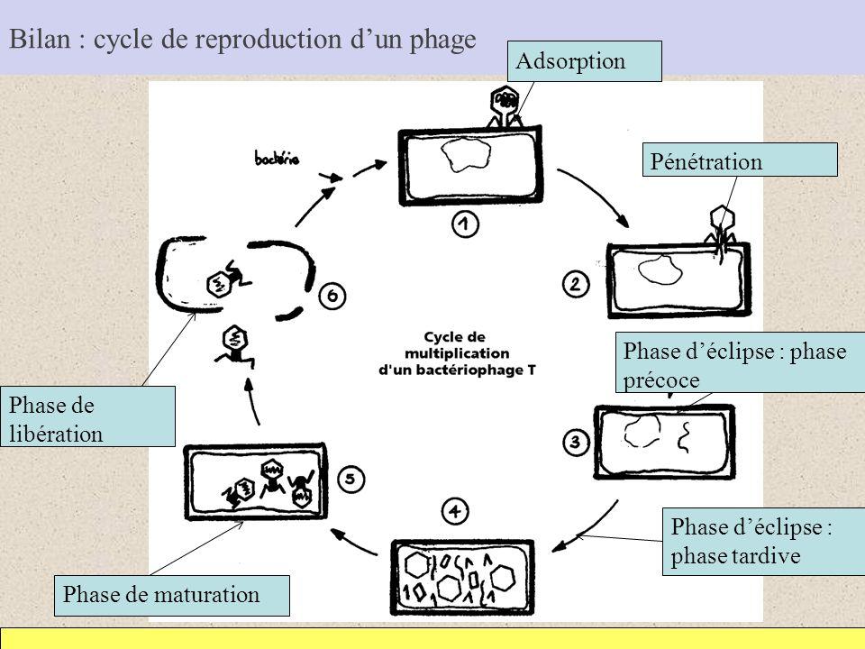 Bilan : cycle de reproduction dun phage Adsorption Pénétration Phase déclipse : phase précoce Phase déclipse : phase tardive Phase de maturation Phase