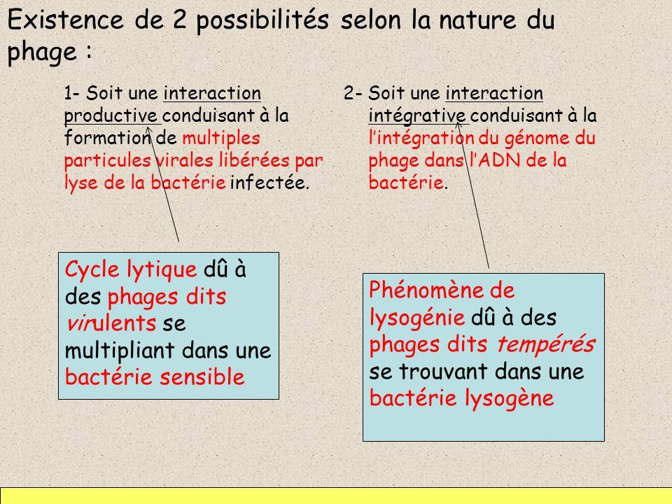 Existence de 2 possibilités selon la nature du phage : 1- Soit une interaction productive conduisant à la formation de multiples particules virales li