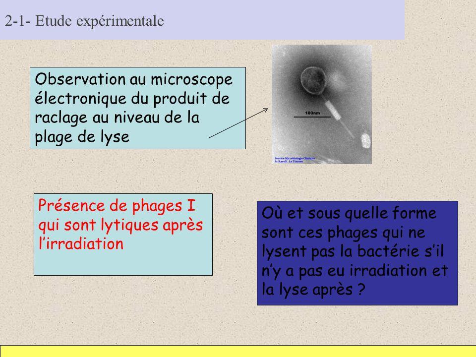 2-1- Etude expérimentale Observation au microscope électronique du produit de raclage au niveau de la plage de lyse Présence de phages I qui sont lyti