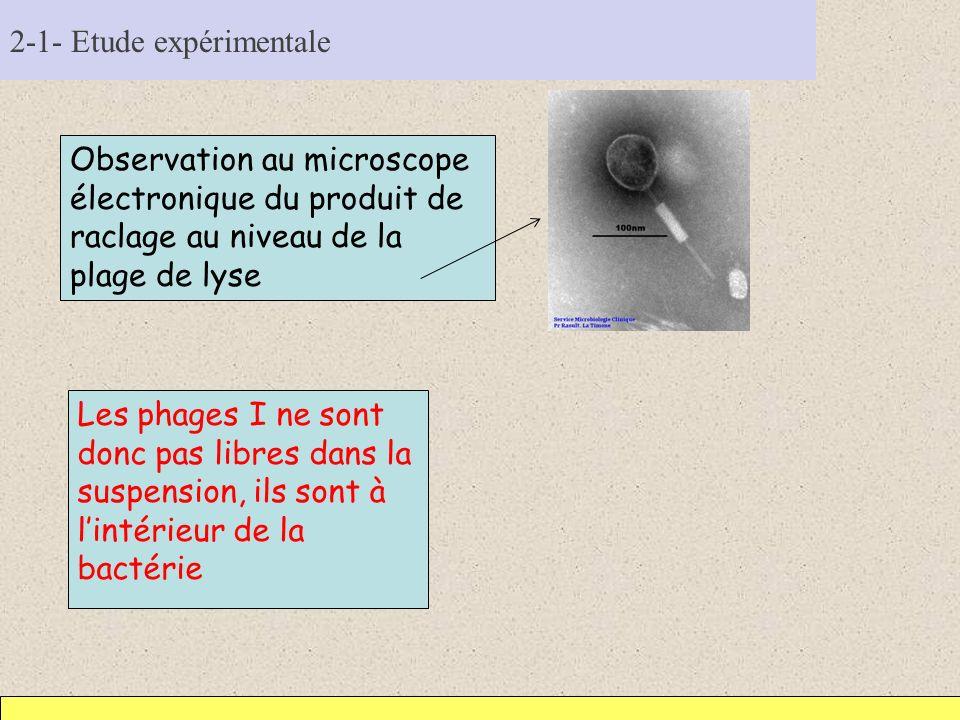 2-1- Etude expérimentale Observation au microscope électronique du produit de raclage au niveau de la plage de lyse Les phages I ne sont donc pas libr
