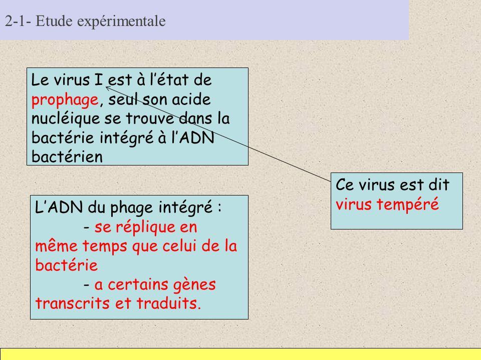 2-1- Etude expérimentale Le virus I est à létat de prophage, seul son acide nucléique se trouve dans la bactérie intégré à lADN bactérien LADN du phag