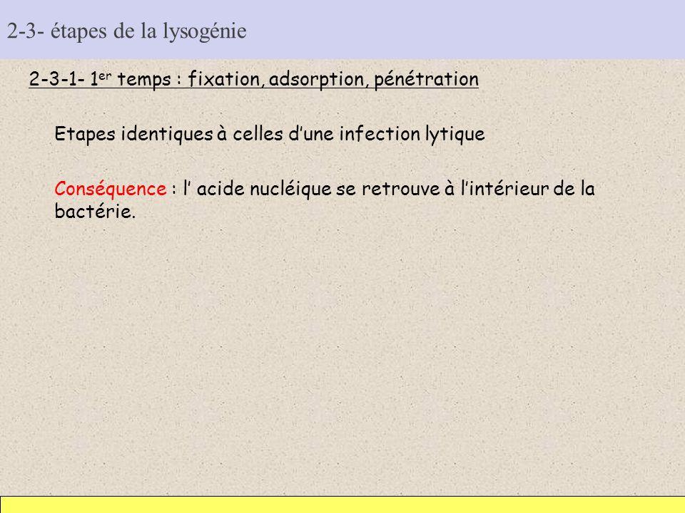 2-3- étapes de la lysogénie 2-3-1- 1 er temps : fixation, adsorption, pénétration Etapes identiques à celles dune infection lytique Conséquence : l ac