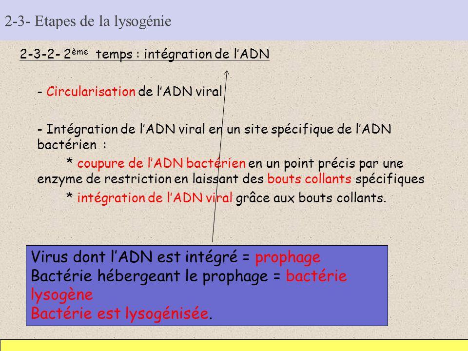 2-3- Etapes de la lysogénie 2-3-2- 2 ème temps : intégration de lADN - Circularisation de lADN viral - Intégration de lADN viral en un site spécifique