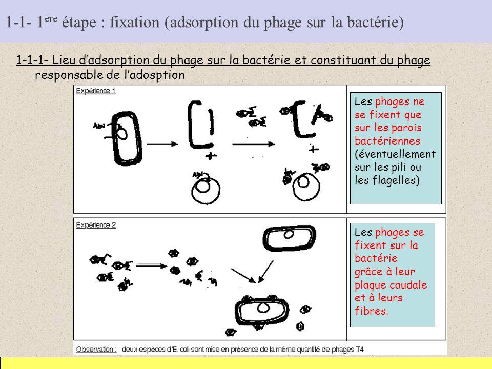 1-1- 1 ère étape : fixation (adsorption du phage sur la bactérie) 1-1-1- Lieu dadsorption du phage sur la bactérie et constituant du phage responsable