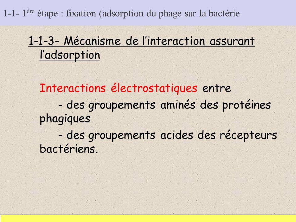 1-1- 1 ère étape : fixation (adsorption du phage sur la bactérie 1-1-3- Mécanisme de linteraction assurant ladsorption Interactions électrostatiques e