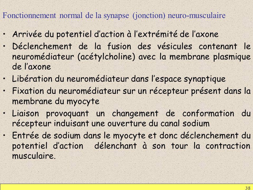Fonctionnement normal de la synapse (jonction) neuro-musculaire 38 Arrivée du potentiel daction à lextrémité de laxone Déclenchement de la fusion des