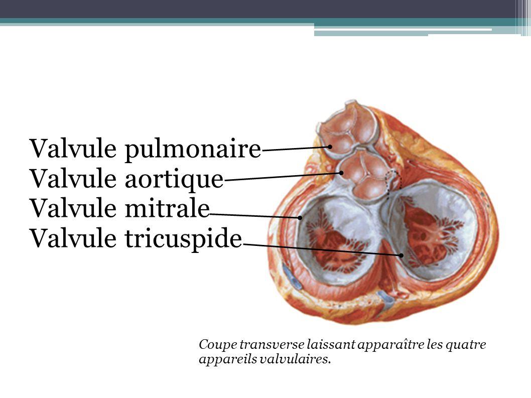 Coupe transverse laissant apparaître les quatre appareils valvulaires. Valvule pulmonaire Valvule aortique Valvule mitrale Valvule tricuspide