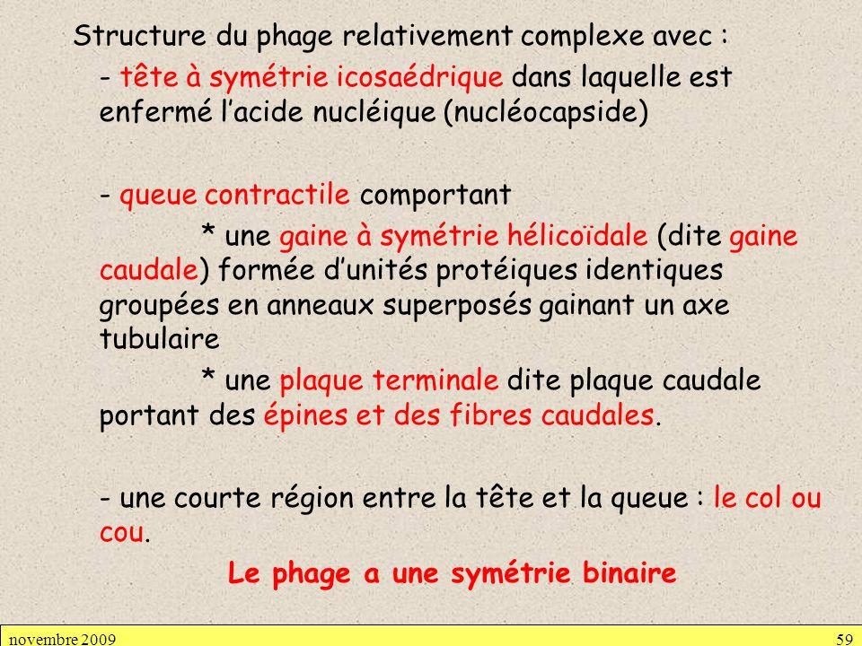 Structure du phage relativement complexe avec : - tête à symétrie icosaédrique dans laquelle est enfermé lacide nucléique (nucléocapside) - queue cont