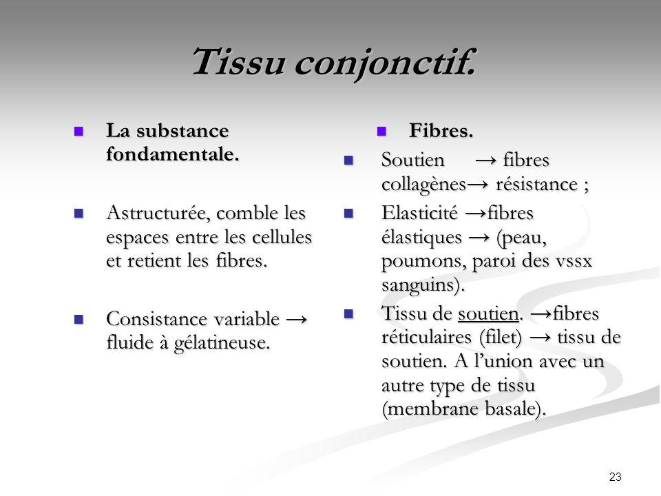 23 Tissu conjonctif. La substance fondamentale. La substance fondamentale. Astructurée, comble les espaces entre les cellules et retient les fibres. A