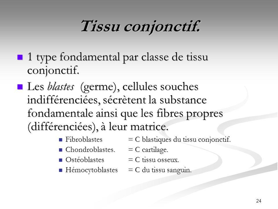 24 Tissu conjonctif. 1 type fondamental par classe de tissu conjonctif. 1 type fondamental par classe de tissu conjonctif. Les blastes (germe), cellul