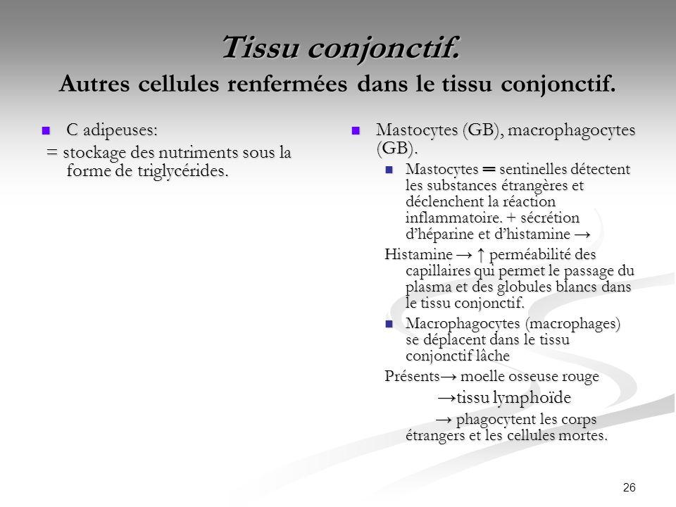 26 Tissu conjonctif. Autres cellules renfermées dans le tissu conjonctif. C adipeuses: C adipeuses: = stockage des nutriments sous la forme de triglyc