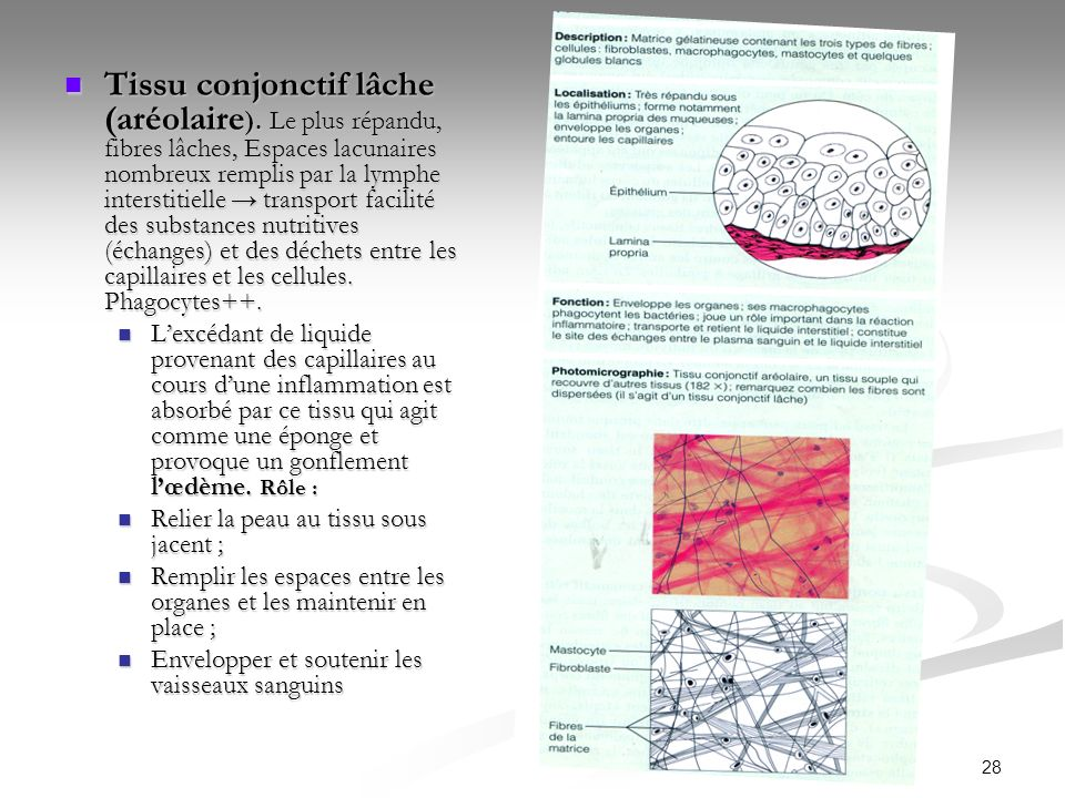 28 Tissu conjonctif lâche (aréolaire ). Le plus répandu, fibres lâches, Espaces lacunaires nombreux remplis par la lymphe interstitielle transport fac