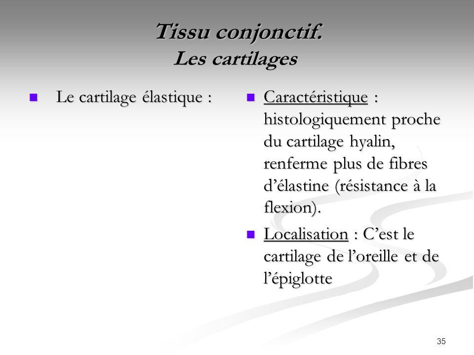 35 Tissu conjonctif. Les cartilages Tissu conjonctif. Les cartilages Le cartilage élastique : Le cartilage élastique : Caractéristique : histologiquem