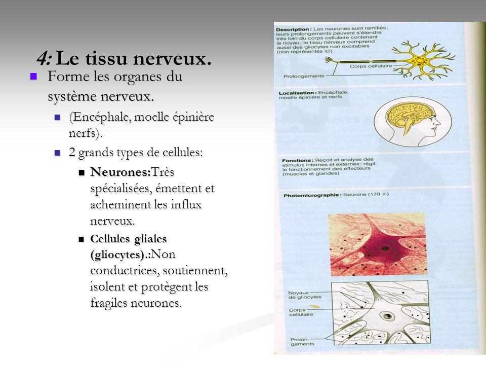 38 4: Le tissu nerveux. 4: Le tissu nerveux. Forme les organes du système nerveux. Forme les organes du système nerveux. (Encéphale, moelle épinière n
