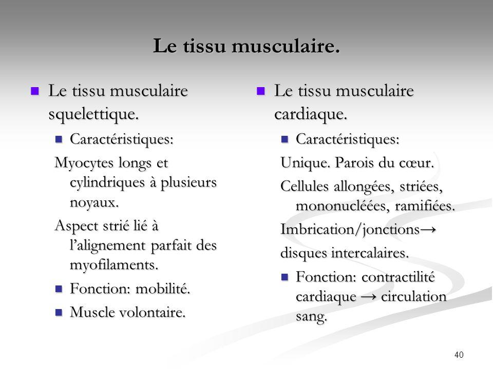 40 Le tissu musculaire. Le tissu musculaire squelettique. Le tissu musculaire squelettique. Caractéristiques: Caractéristiques: Myocytes longs et cyli