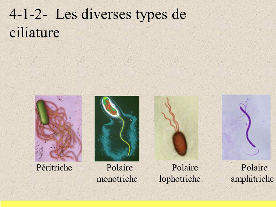 4-1-2- Les diverses types de ciliature monotriche lophotriche amphitriche Péritriche Polaire Polaire Polaire