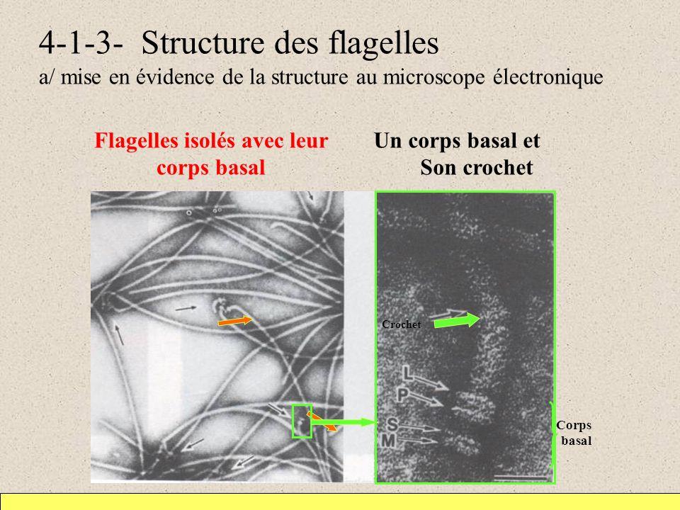 4-1-3- Structure des flagelles a/ mise en évidence de la structure au microscope électronique Flagelles isolés avec leur corps basal Un corps basal et Son crochet Crochet Corps basal