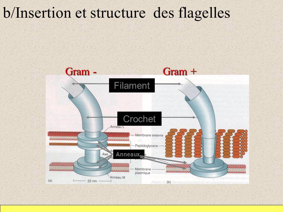 b/Insertion et structure des flagelles Gram - Gram + Filament Crochet Anneaux