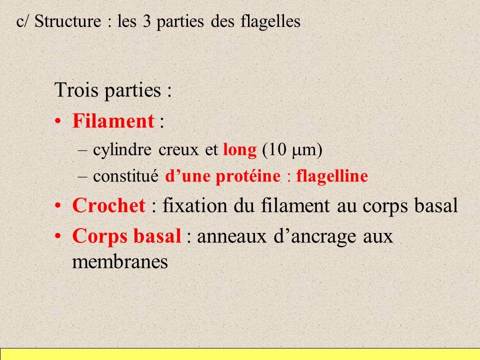 c/ Structure : les 3 parties des flagelles Trois parties : Filament : –cylindre creux et long (10 m) –constitué dune protéine : flagelline Crochet : f