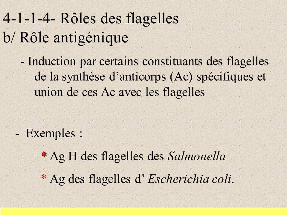 4-1-1-4- Rôles des flagelles b/ Rôle antigénique - Induction par certains constituants des flagelles de la synthèse danticorps (Ac) spécifiques et union de ces Ac avec les flagelles - Exemples : * * Ag H des flagelles des Salmonella * Ag des flagelles d Escherichia coli.