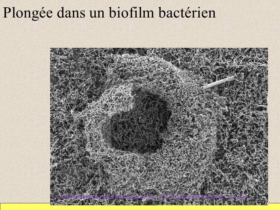 Plongée dans un biofilm bactérien
