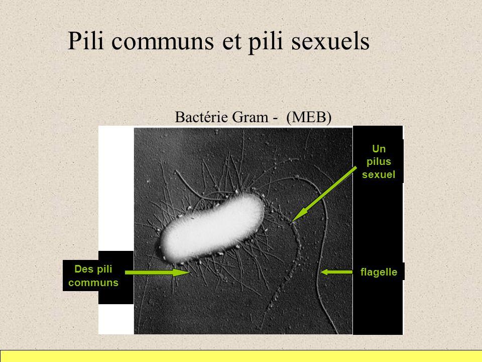 Pili communs et pili sexuels 1 m Des pili communs flagelle Un pilus sexuel Bactérie Gram - (MEB)