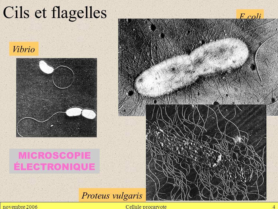 novembre 2006Cellule procaryote5 Cils et flagelles Leptospira icterohemorragiae Provoque maladie professionnelle des égoutiers et des baigneurs en eau douce (la bactérie provient de lurine du rat).