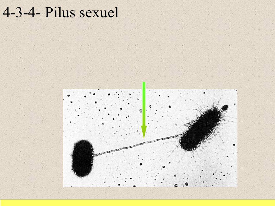 4-3-4- Pilus sexuel