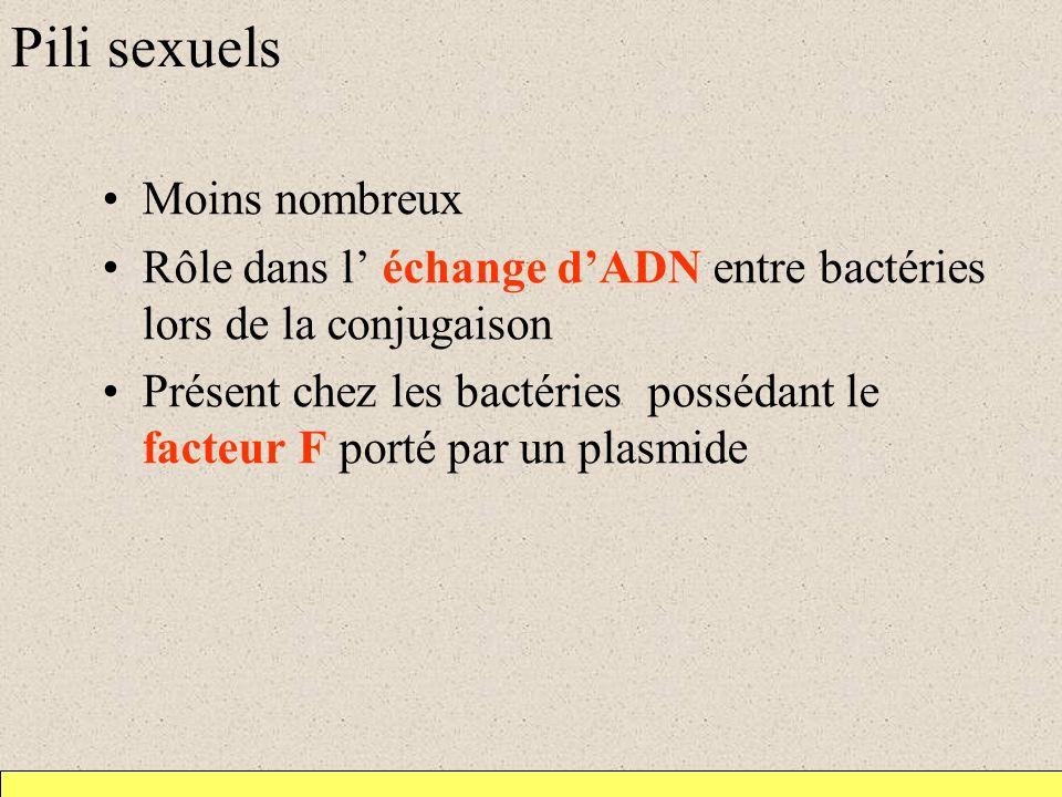 Pili sexuels Moins nombreux Rôle dans l échange dADN entre bactéries lors de la conjugaison Présent chez les bactéries possédant le facteur F porté pa