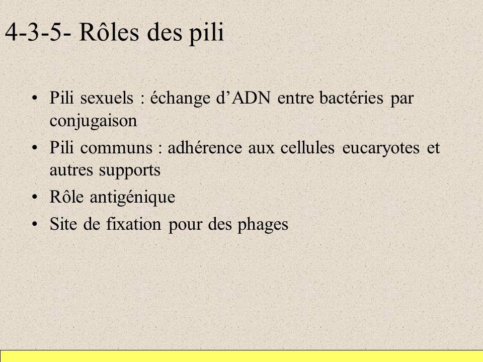 4-3-5- Rôles des pili Pili sexuels : échange dADN entre bactéries par conjugaison Pili communs : adhérence aux cellules eucaryotes et autres supports Rôle antigénique Site de fixation pour des phages