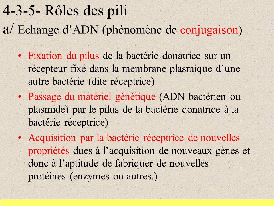 4-3-5- Rôles des pili a/ Echange dADN (phénomène de conjugaison) Fixation du pilus de la bactérie donatrice sur un récepteur fixé dans la membrane pla