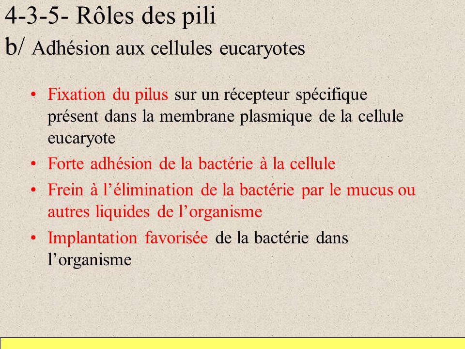 4-3-5- Rôles des pili b/ Adhésion aux cellules eucaryotes Fixation du pilus sur un récepteur spécifique présent dans la membrane plasmique de la cellu