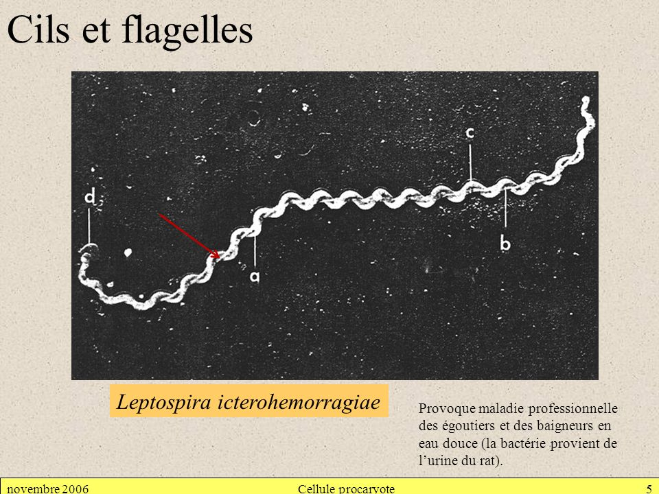 novembre 2006Cellule procaryote5 Cils et flagelles Leptospira icterohemorragiae Provoque maladie professionnelle des égoutiers et des baigneurs en eau