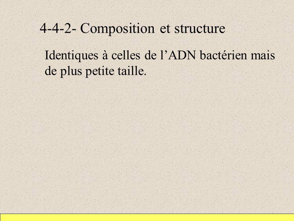 4-4-2- Composition et structure Identiques à celles de lADN bactérien mais de plus petite taille.