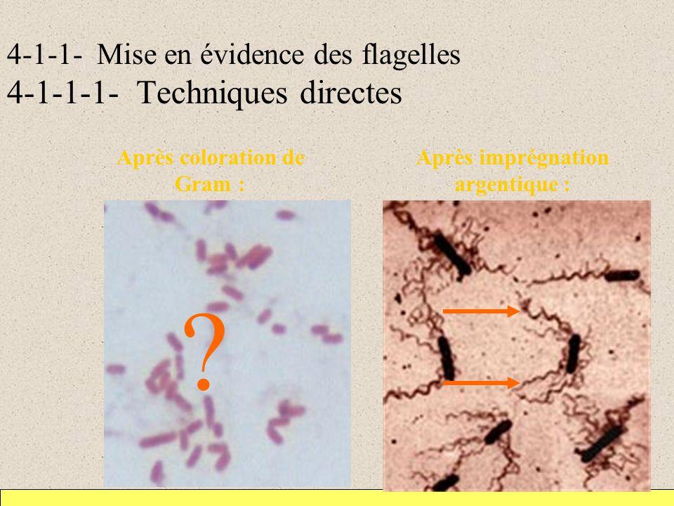 Techniques directes de mise en évidence des flagelles Flagelles visibles : –après coloration des cils par imprégnation argentique dont le principe est dépaissir les cils car cils trop fins pour être visibles en microscopie optique –lors de lobservation au microscope électronique