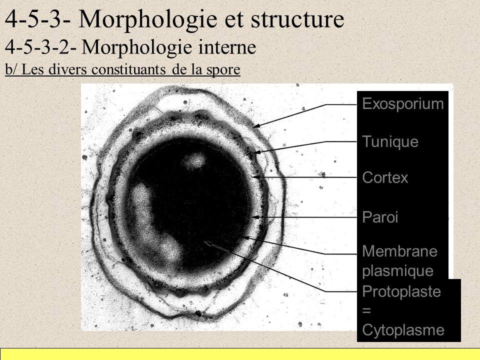 4-5-3- Morphologie et structure 4-5-3-2- Morphologie interne b/ Les divers constituants de la spore Exosporium Tunique Cortex Paroi Membrane plasmique Protoplaste = Cytoplasme