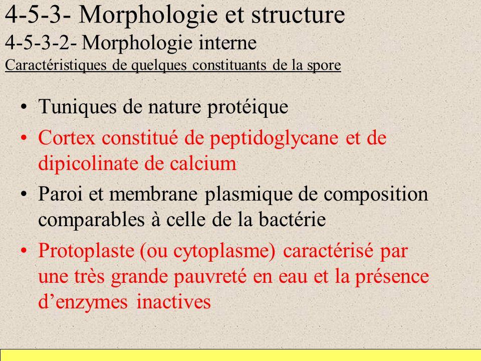 4-5-3- Morphologie et structure 4-5-3-2- Morphologie interne Caractéristiques de quelques constituants de la spore Tuniques de nature protéique Cortex constitué de peptidoglycane et de dipicolinate de calcium Paroi et membrane plasmique de composition comparables à celle de la bactérie Protoplaste (ou cytoplasme) caractérisé par une très grande pauvreté en eau et la présence denzymes inactives