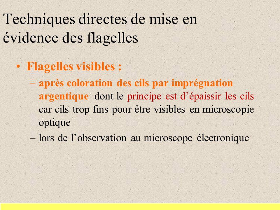 Techniques directes de mise en évidence des flagelles Flagelles visibles : –après coloration des cils par imprégnation argentique dont le principe est