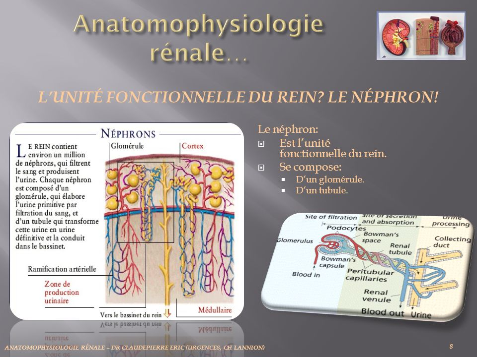 ANATOMOPHYSIOLOGIE RÉNALE – DR CLAUDEPIERRE ERIC (URGENCES, CH LANNION) Le néphron: Est lunité fonctionnelle du rein. Se compose: Dun glomérule. Dun t