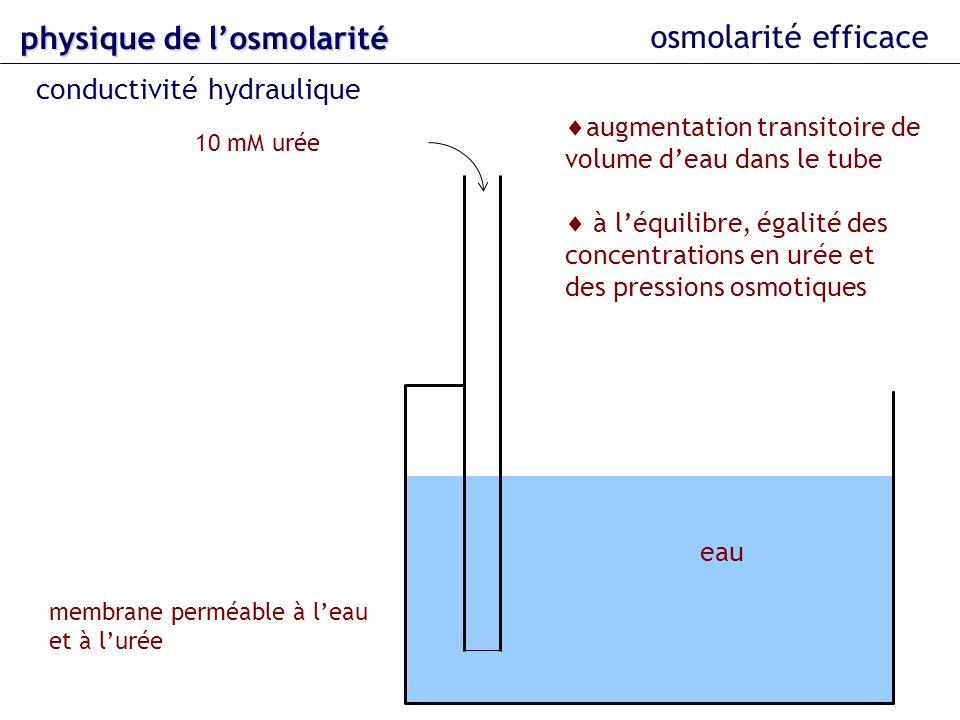 eau 10 mM urée membrane perméable à leau et à lurée osmolarité efficace physique delosmolarité physique de losmolarité conductivité hydraulique augmen
