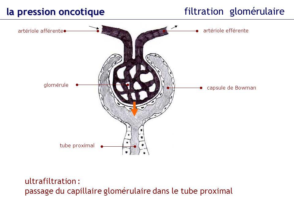 la pression oncotique filtration glomérulaire glomérule tube proximal artériole afférente artériole efférente capsule de Bowman ultrafiltration : pass
