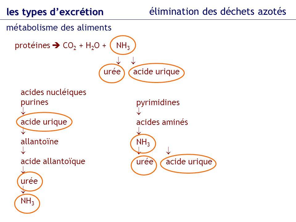 les types dexcrétion élimination des déchets azotés métabolisme des aliments protéines CO 2 + H 2 O + NH 3 urée acide urique acides nucléiques purines