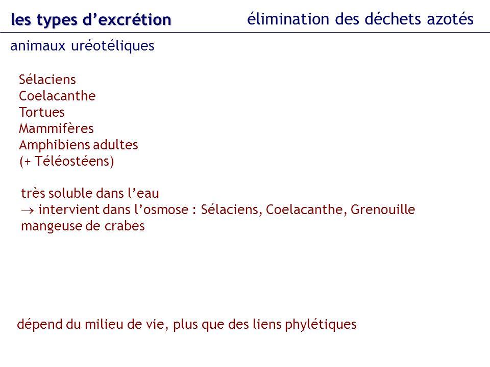 les types dexcrétion élimination des déchets azotés très soluble dans leau intervient dans losmose : Sélaciens, Coelacanthe, Grenouille mangeuse de cr