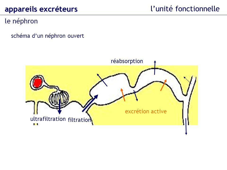 lunité fonctionnelle le néphron appareils excréteurs schéma dun néphron ouvert ultrafiltration filtration réabsorption excrétion active
