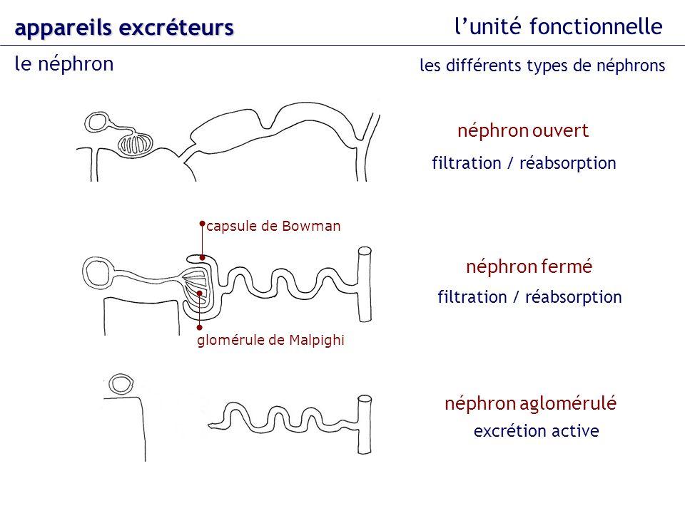 lunité fonctionnelle le néphron appareils excréteurs les différents types de néphrons néphron ouvert néphron fermé glomérule de Malpighi capsule de Bo