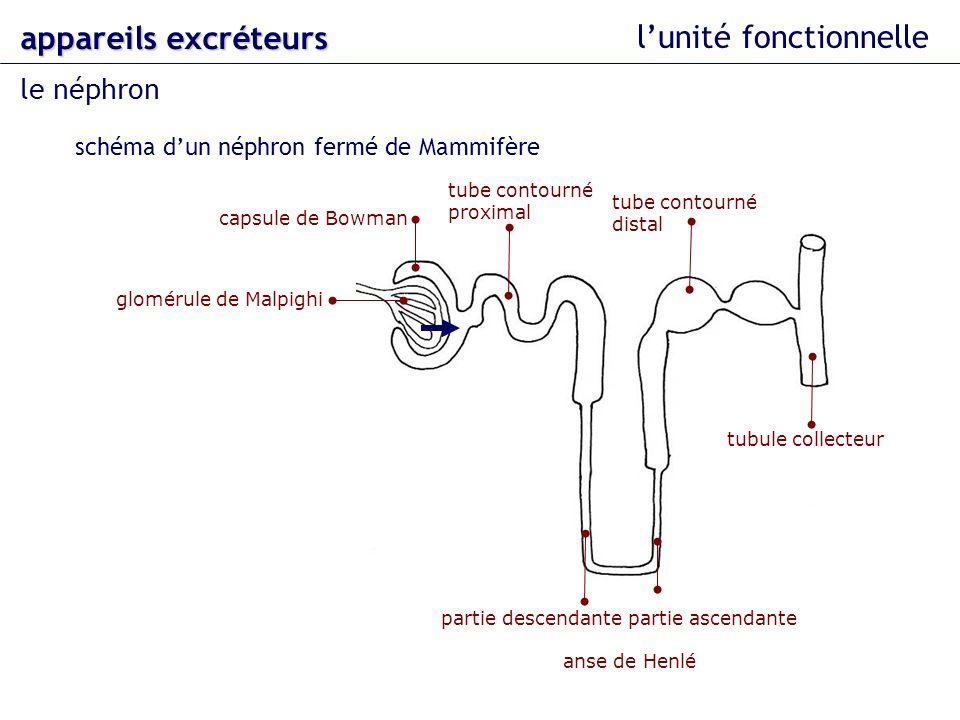 lunité fonctionnelle le néphron appareils excréteurs schéma dun néphron fermé de Mammifère glomérule de Malpighi capsule de Bowman tube contourné prox