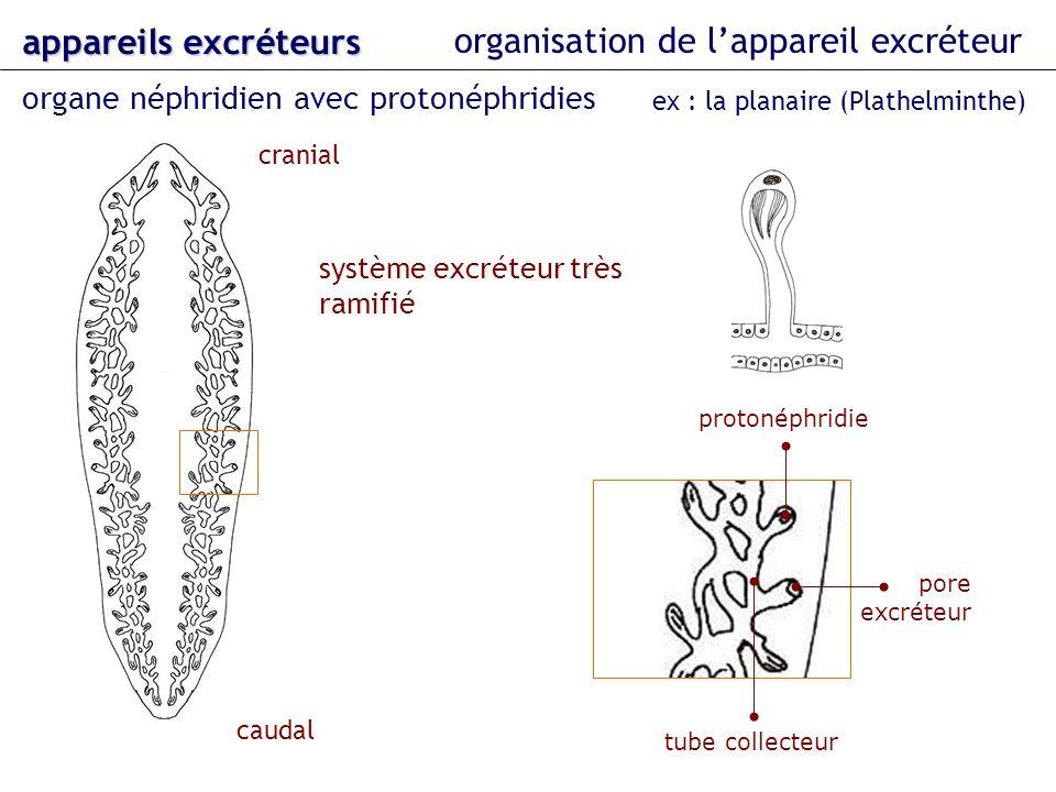 organisation de lappareil excréteur organe néphridien avec protonéphridies appareils excréteurs ex : la planaire (Plathelminthe) cranial caudal proton