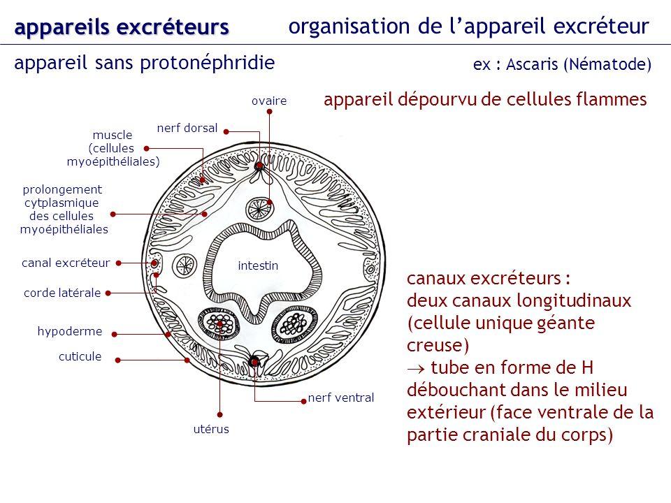 organisation de lappareil excréteur appareil sans protonéphridie appareils excréteurs ex : Ascaris (Nématode) nerf dorsal nerf ventral ovaire intestin