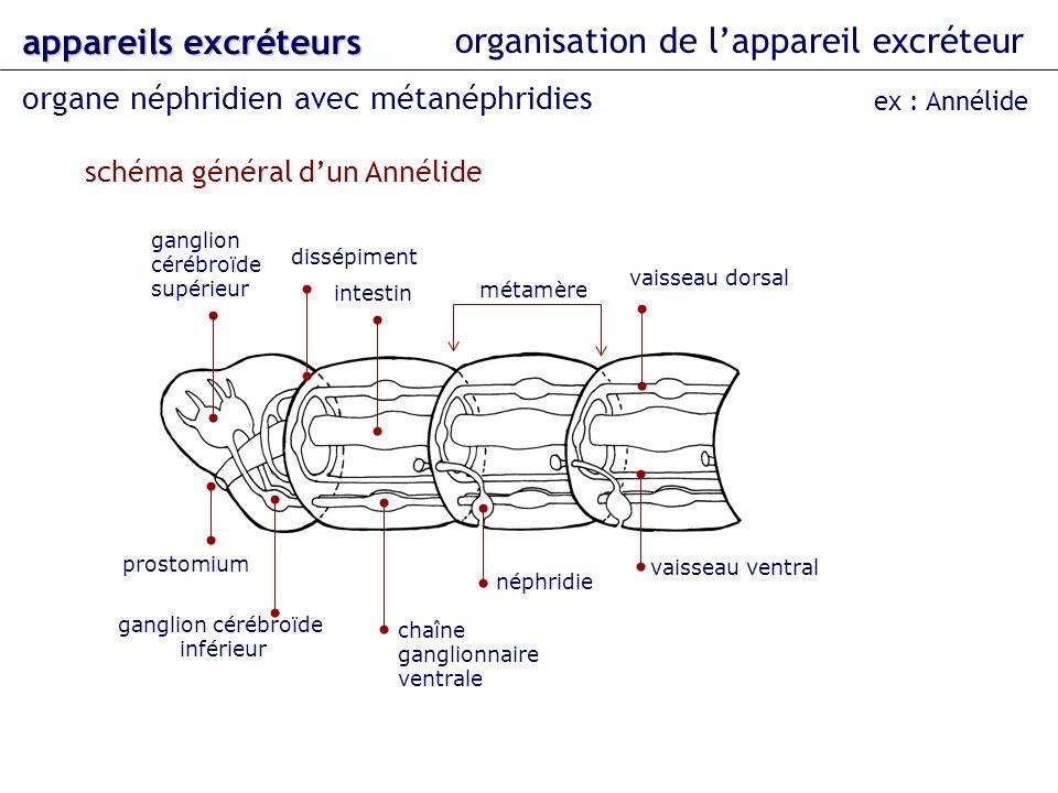 organisation de lappareil excréteur organe néphridien avec métanéphridies appareils excréteurs ex : Annélide métamère vaisseau dorsal vaisseau ventral