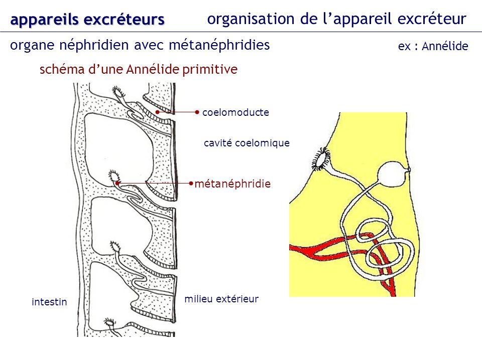 organisation de lappareil excréteur organe néphridien avec métanéphridies appareils excréteurs ex : Annélide cavité coelomique schéma dune Annélide pr